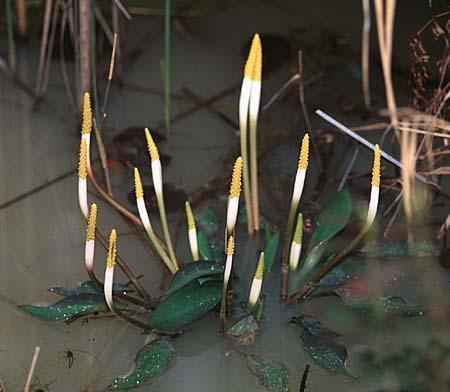 Plantas acuáticas: El palo dorado (Orontium aquaticum)