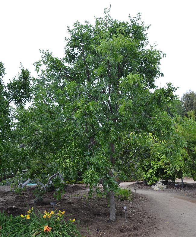 Árboles tropicales para el jardín: El jinjolero (Ziziphus jujuba)