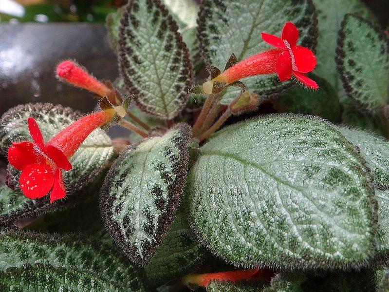 Palma del pan (Episcia cupreata): Características, cultivo y cuidados
