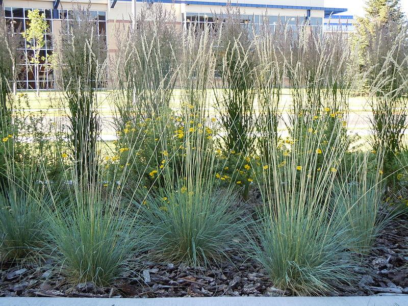 Gramíneas ornamentales: La hierba de avena azul (Helicotrichon sempervivens)