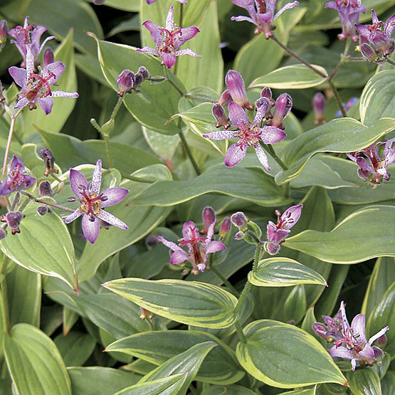 Flores exóticas: Tricyrtis formosana o lirio del sapo