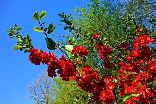 Arbustos ornamentales: El membrillo elegante (Chaenomeles speciosa)