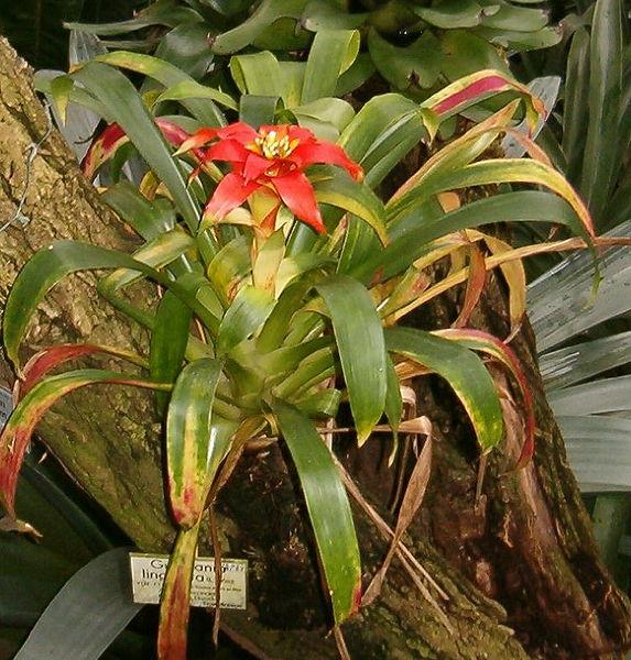 Cultivo de plantas de interior: La estrella escarlata (Guzmania lingulata)