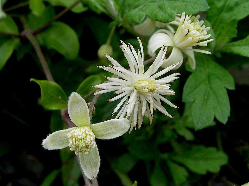 Plantas trepadoras: La clemátide (Clematis vitalba)