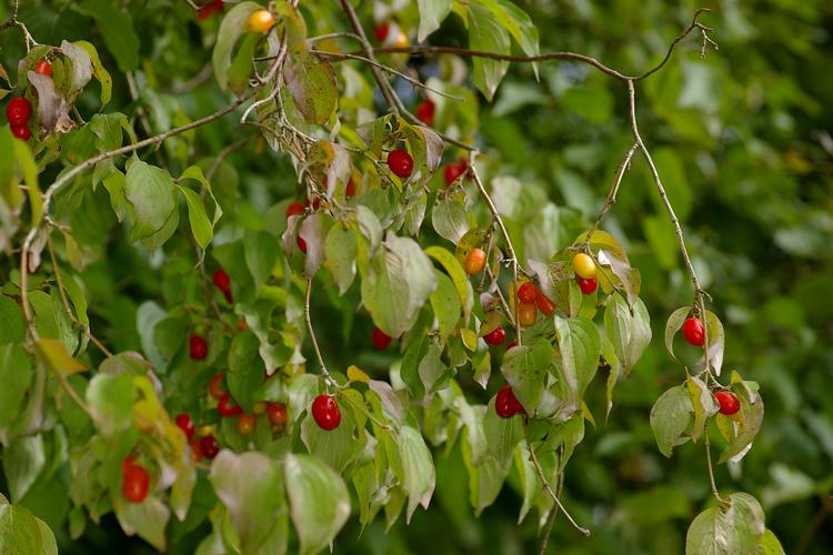 Árboles ornamentales: El cornejo macho (Cornus mas)