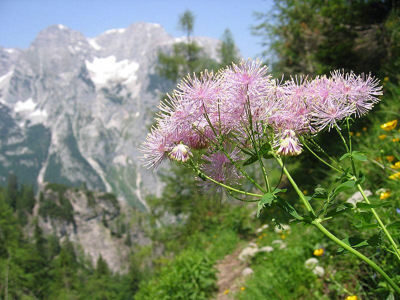 Características y cultivo del pigamón (Thalictrum aquilegiifolium)