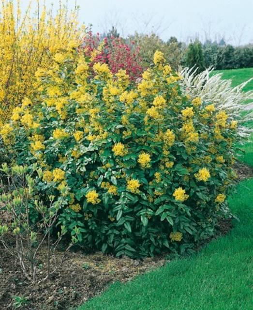 Arbustos decorativos: La mahonia (Mahonia aquifolium)