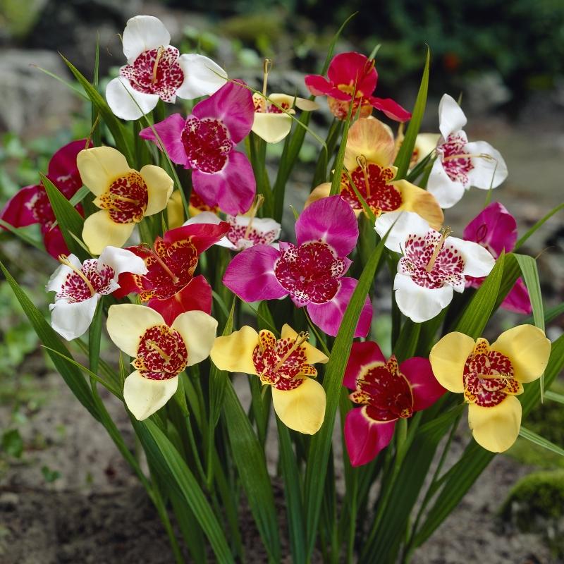 Plantas ornamentales: Iris tigre (Tigridia pavonia)