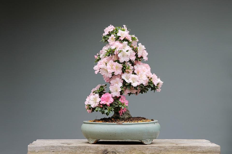 Bonsai de  azalea en flor
