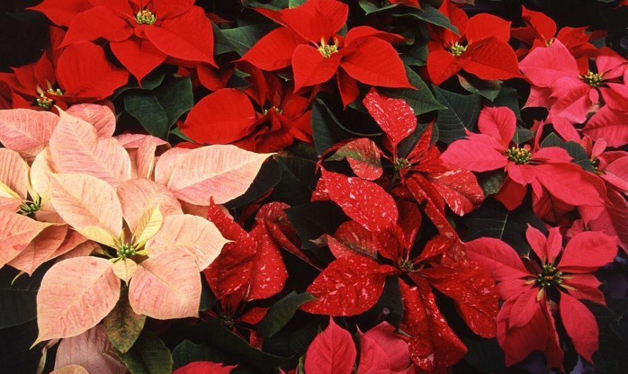 Plantas de Navidad para estas Fiestas