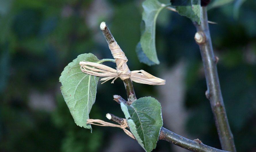 Propagación Vegetativa: Injerto de Yema, Aproximación y Púa