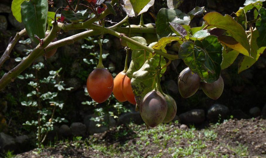 Tomate de Árbol, Solanum Betaceum o Tamarillo