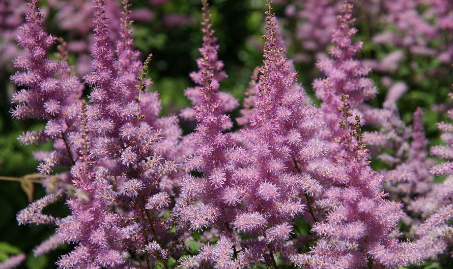 Vivaces para el jardín: La Astilbe arendsii
