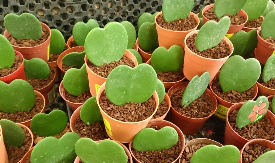 Cactus corazón, cuidados del Hoya Kerrii