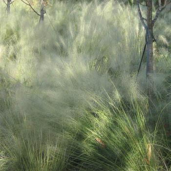 Gramíneas ornamentales: La hierba nubosa (Agrostis nebulosa)