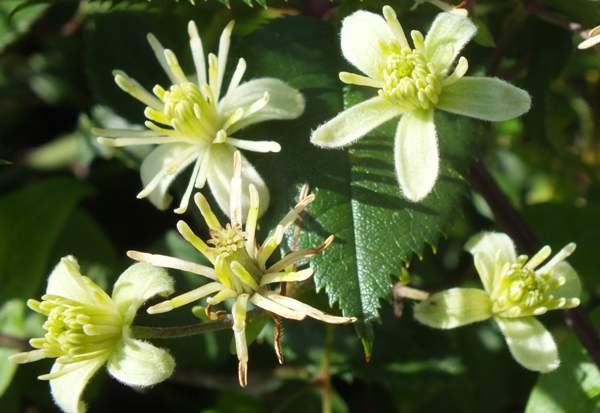 Arbustos ornamentales: La Clematis vitalba