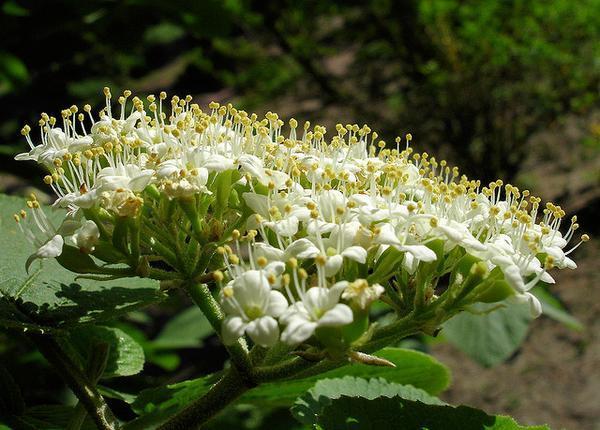 Arbustos para el jardín: El viburno de hoja correosa (Viburnum rhytidophyllum)