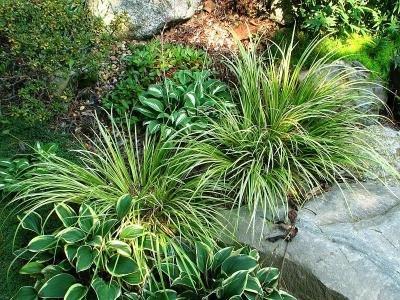 Plantas para acuarios: Acorus gramineus