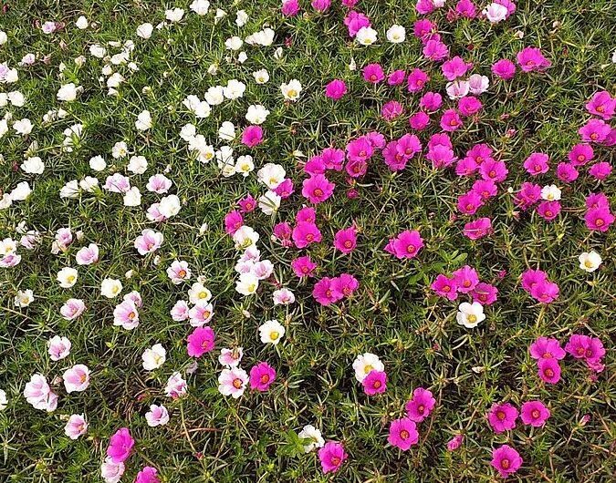 Flor de seda (Portulaca grandiflora): Cultivo y cuidados
